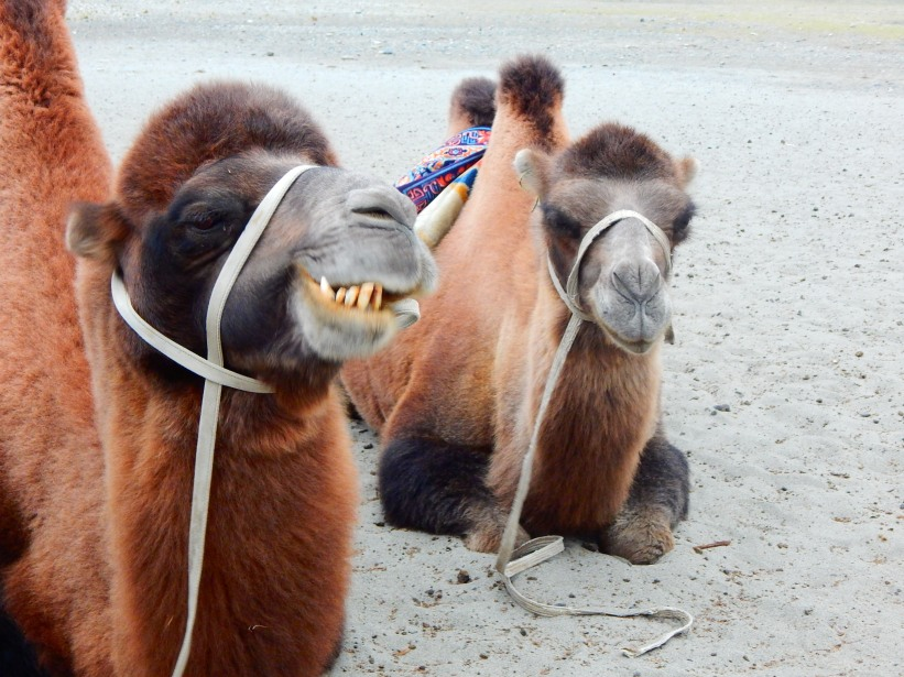 Double humped camels at the high altitude desert